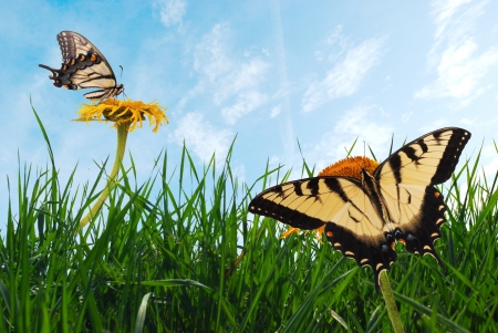 yellow butterfly: Grass with tiger swallowtails (Papilio glaucus). Stock Photo