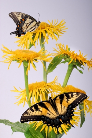 Inula, with butterfly