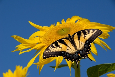 Sunflower with a butterfly
