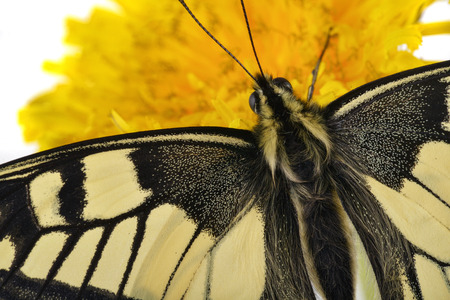 Close up of a Swallowtail  Papilio machaon