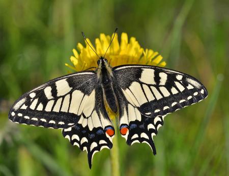 Swallowtail  Papilio machaon  photo