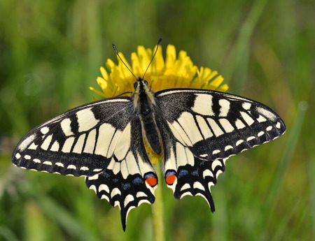 papilionidae: Swallowtail  Papilio machaon
