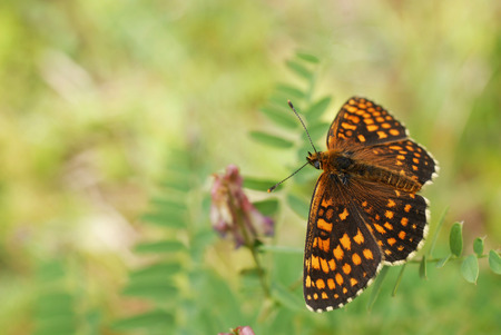 Heath Fritillary  Mellicta athalia   Photo taken at Bialowieza National Park in Poland Stock Photo