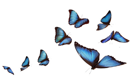 white butterfly: Blue morpho butterflies Stock Photo