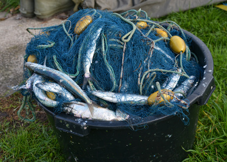 A bucket with gillnets and a catch of herrings  Baltic, Denmark