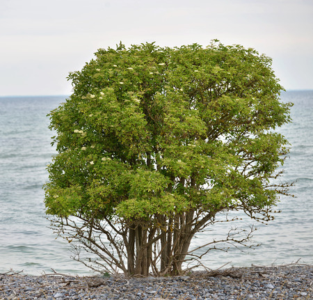 elder tree: Elder berry tree  Sambucus nigra  photographed at the coast of the Baltic, Denmark