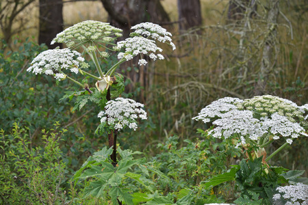 Giant Hogweed  Heracleum mantegazzianum , phototoxic plant in the umbellifera family  Stock Photo