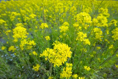 look down view of field mustard photo
