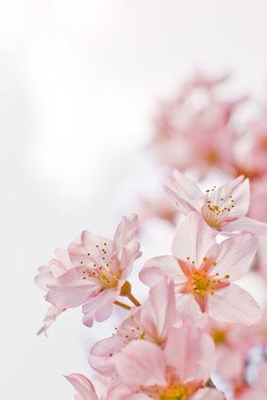 Sakura the Japanese cherry at spring, closeup. photo