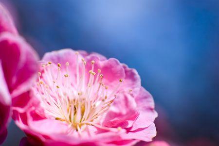 ume: Ume the Japanese plum closeup and blue sky Stock Photo