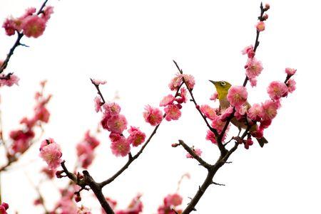 dark cherry: Sakura the Japanese cherry and a bird