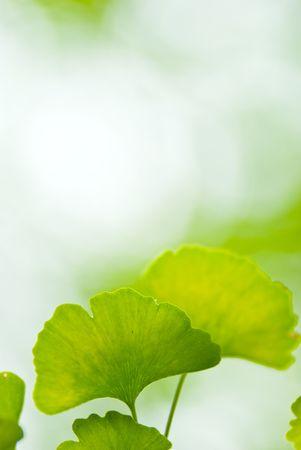 ginkgo leaf blurred background