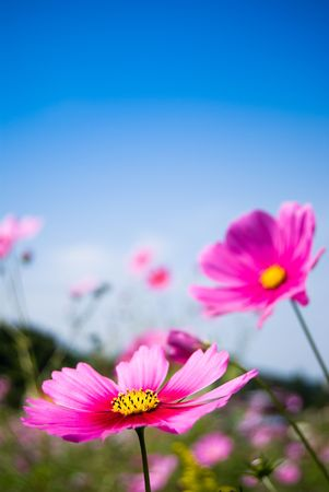 field of pink cosmos flowers and blue sky