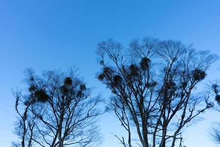 Blue sky and tree silhouette with contrast. Taken at a lake around Mt. Fuji.