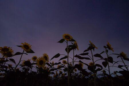 Moonlight Sunflower Field.  Twilight Night Sky