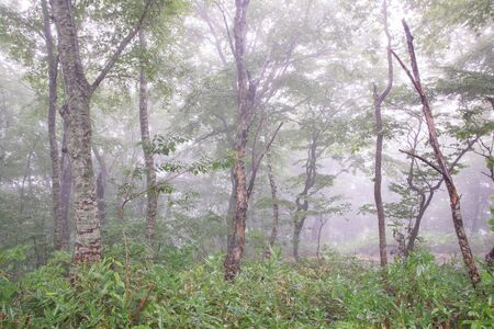 Foggy forest suitable for desktop.
