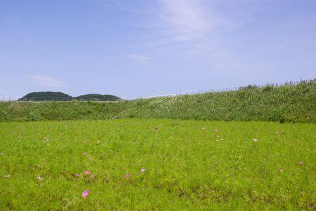 Awaji Island sky and cosmos field landscape. 스톡 콘텐츠