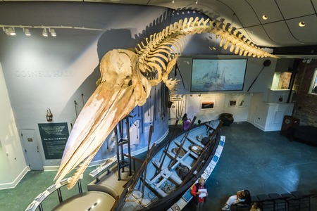 Nantucket, Massachusetts. Complete skeleton of a 46-foot (14 meter) bull Sperm whale suspended from the ceiling of the Nantucket Whaling Museum, originally a candle factory Editöryel