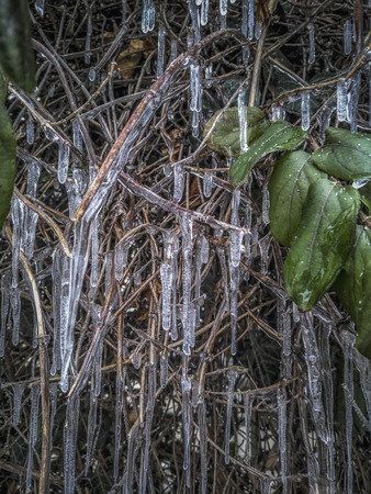 A close-up of branches of a frozen bush in winter