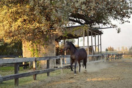 sorrel: horse