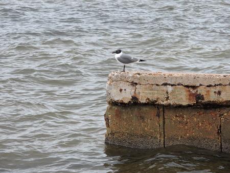 pondering: Seagull pondering his life.