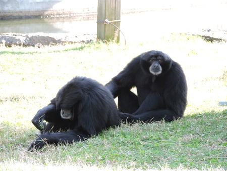 Two monkeys grooming each other Reklamní fotografie - 38506727