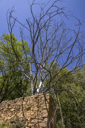 A lonely and dead tree with its branches without leaves emerges from behind the walls of a ruined building made of stones. The dry tree has dead