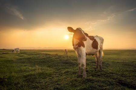 Cow Stock Photo - 39692996
