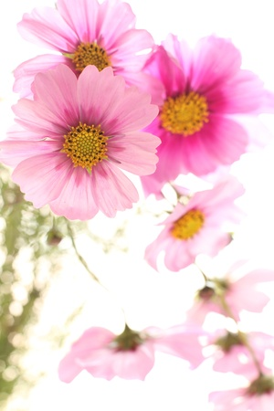 cosmo: autumn flower, pink cosmo on white background Stock Photo