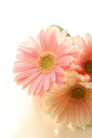 Close of elegant blossom gerbera for background image photo