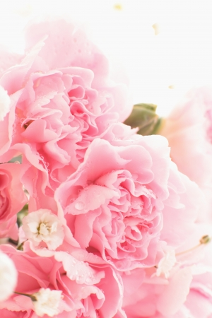 close up of Pink carnation for Mother s day  photo