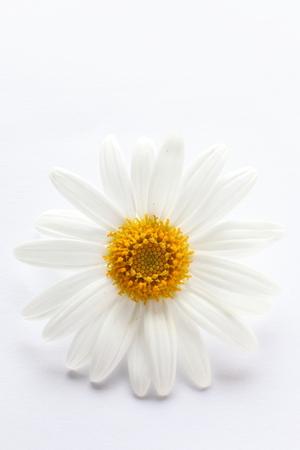 margarite: Elegance daisy for backgrund image