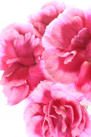 白地にピンクと白のバイカラー カーネーション