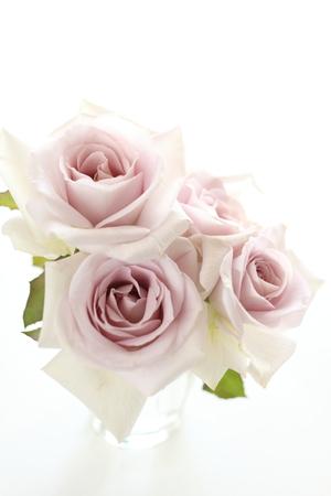 elegante paarse roos op een witte achtergrond Stockfoto