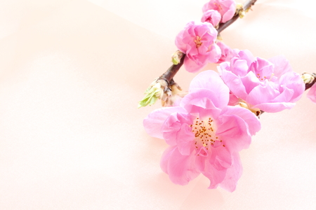 Chinese flower Peach for background image