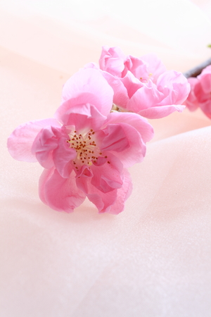 close up of new year flower Peach
