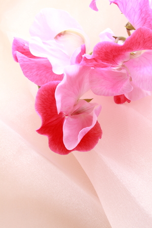 pink satin: Pink sweet pea on pink satin Stock Photo