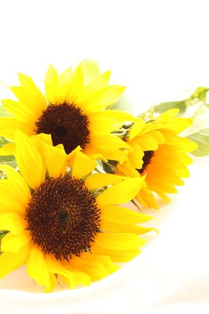sun flower: sun flower for summer background image