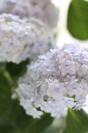 hydrangea macrophylla: elegant Hydrangea macrophylla Stock Photo