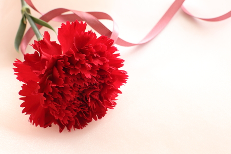 red  carnation: red carnation with ribbon