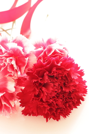 red  carnation: red carnation for Mothers day image