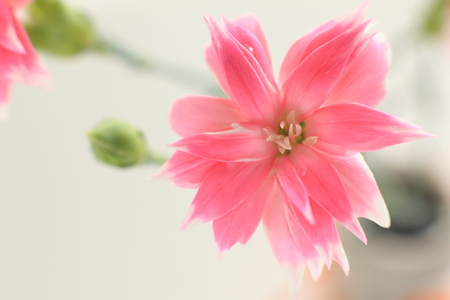 Fringed pink on white background with copy space