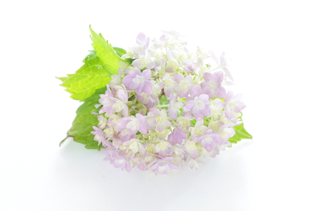 Hydrangea on white background with copy space