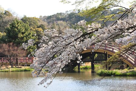 Beautiful cherry blossom In Japanese garden