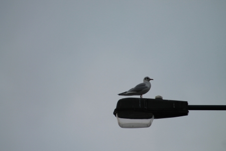 silver perch: Seagull on a lamp post and grey sky
