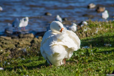 arched neck: Goose washing it s feathers