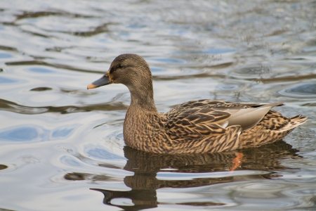 Mallard swimming in the canal photo