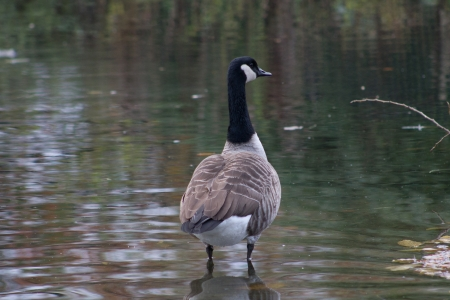 Canada Goose standing in the water photo