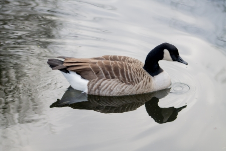 Side profile of swimming Canada Goose photo