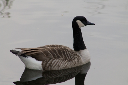 Side profile of Canada Goose photo